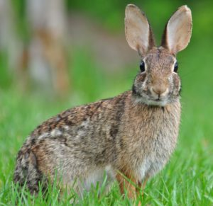 Eastern Cottontail 300x291 Outdoors in the Country